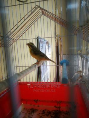 Canary Bird (Campion Gold) | Birds for sale in Lagos State, Alimosho