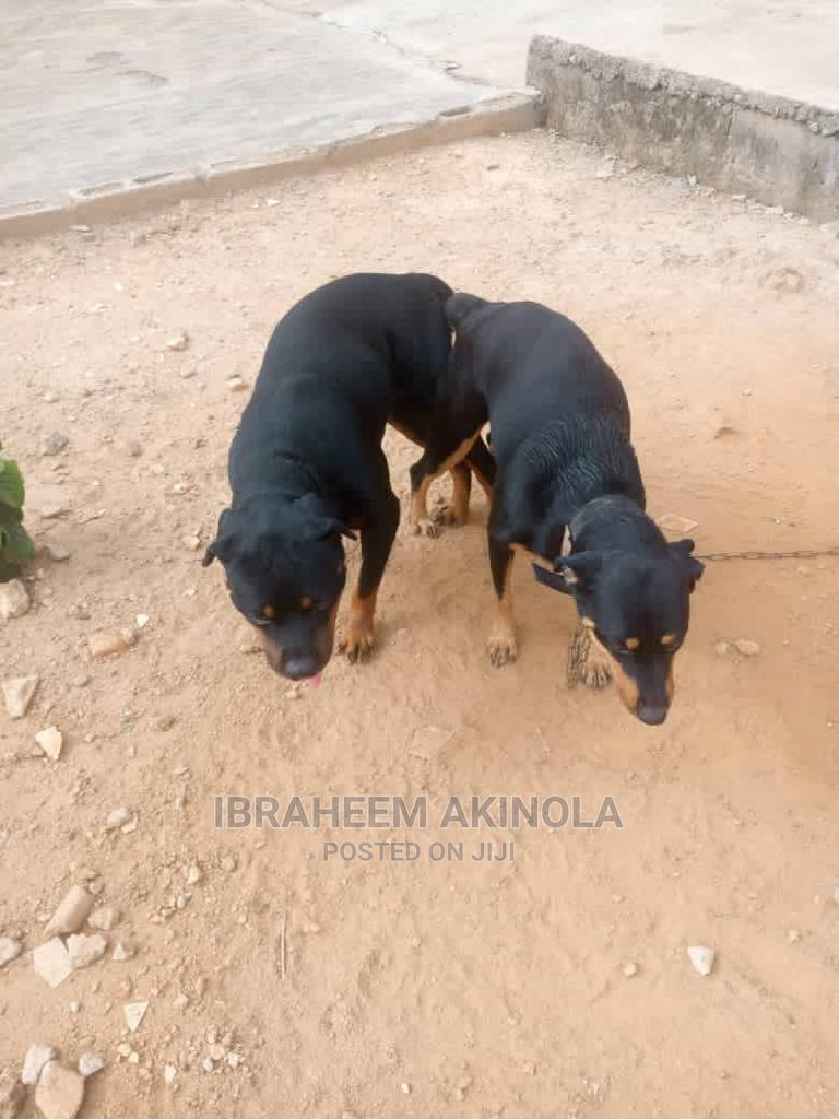 Archive: 1-3 Month Male Purebred Rottweiler