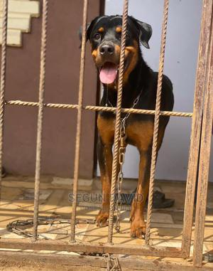 1+ Year Male Purebred Rottweiler | Dogs & Puppies for sale in Oyo State, Ibadan