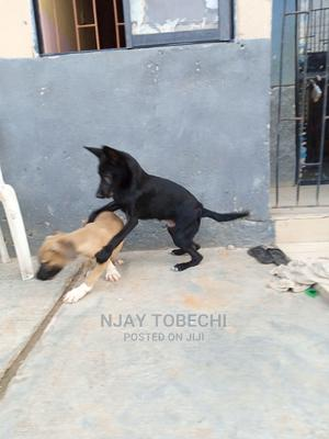 1-3 Month Male Purebred German Shepherd   Dogs & Puppies for sale in Lagos State, Ikotun/Igando