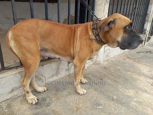 1+ Year Female Purebred Boerboel | Dogs & Puppies for sale in Oyo State, Lagelu