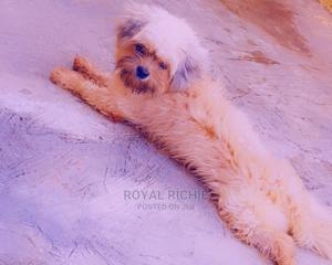 1+ Year Male Purebred Lhasa Apso   Dogs & Puppies for sale in Ekiti State, Ado Ekiti
