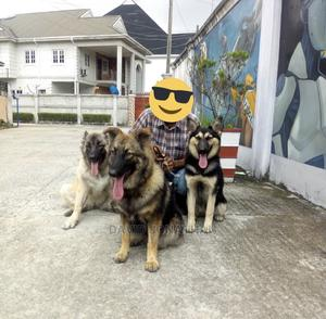 Dog Trainer And Handler   Pet Services for sale in Rivers State, Port-Harcourt