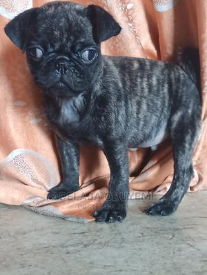 1-3 Month Male Purebred Pug | Dogs & Puppies for sale in Lagos State, Mushin