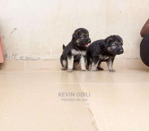1-3 Month Female Purebred German Shepherd | Dogs & Puppies for sale in Lagos State, Ikeja
