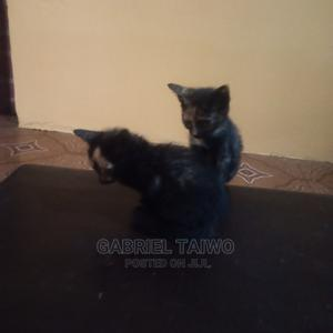 1-3 Month Female Mixed Breed Cat | Cats & Kittens for sale in Oyo State, Ibadan