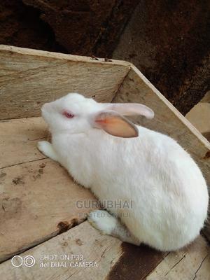 Foreign Breed Rabbit | Livestock & Poultry for sale in Kaduna State, Kaduna / Kaduna State