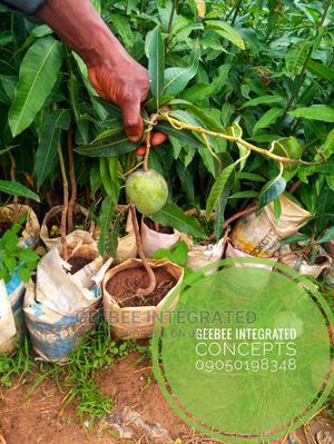 Budded Orange, Tangerine, Lemon, Mango | Feeds, Supplements & Seeds for sale in Oyo State, Oluyole