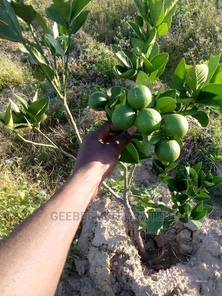 Budded Orange, Tangerine, Lemon, Mango | Feeds, Supplements & Seeds for sale in Oluyole, Oyo State, Nigeria