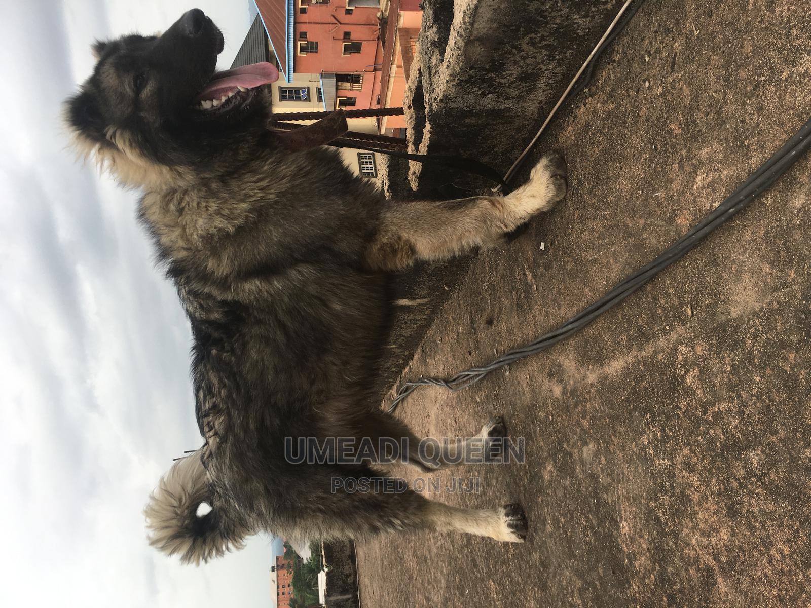 Archive: 1+ Year Male Purebred Caucasian Shepherd