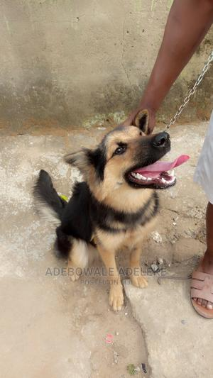 6-12 Month Female Purebred German Shepherd   Dogs & Puppies for sale in Abuja (FCT) State, Lugbe District