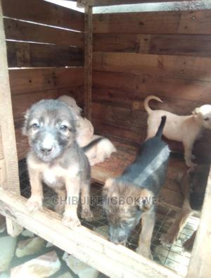 1-3 Month Female Mixed Breed Caucasian Shepherd | Dogs & Puppies for sale in Lagos State, Ikotun/Igando