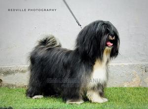 1+ Year Male Purebred Lhasa Apso | Dogs & Puppies for sale in Rivers State, Port-Harcourt