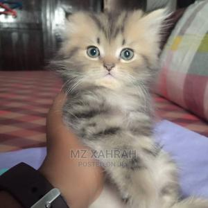 1-3 Month Male Purebred Persian   Cats & Kittens for sale in Lagos State, Ikeja