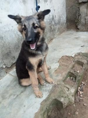 3-6 Month Female Purebred German Shepherd   Dogs & Puppies for sale in Abuja (FCT) State, Kubwa