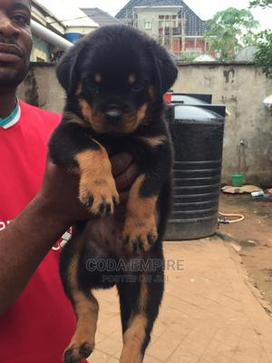 1-3 Month Male Purebred Rottweiler | Dogs & Puppies for sale in Abuja (FCT) State, Kubwa