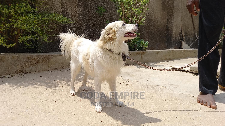 1+ Year Male Purebred American Eskimo | Dogs & Puppies for sale in Kubwa, Abuja (FCT) State, Nigeria