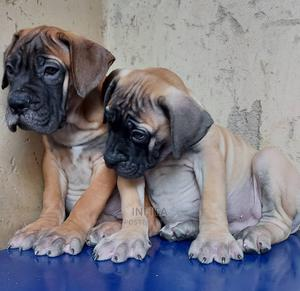 1-3 Month Female Purebred Boerboel   Dogs & Puppies for sale in Lagos State, Lekki