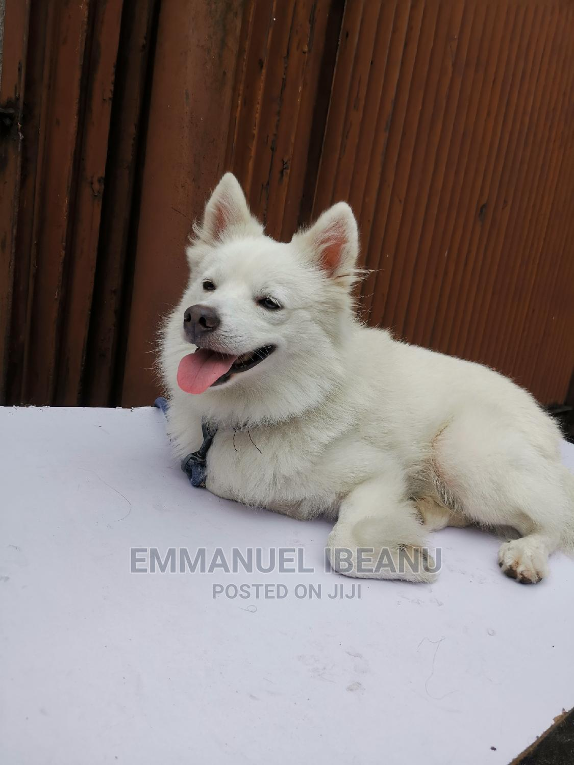 1+ Year Male Purebred American Eskimo   Dogs & Puppies for sale in Port-Harcourt, Rivers State, Nigeria