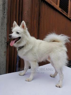 1+ Year Male Purebred American Eskimo | Dogs & Puppies for sale in Rivers State, Port-Harcourt