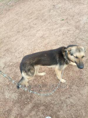 6-12 Month Female Purebred German Shepherd   Dogs & Puppies for sale in Oyo State, Ibadan