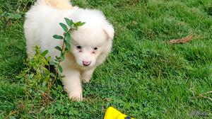1-3 Month Female Purebred American Eskimo   Dogs & Puppies for sale in Lagos State, Ajah