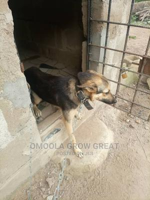 6-12 Month Female Purebred German Shepherd   Dogs & Puppies for sale in Oyo State, Egbeda