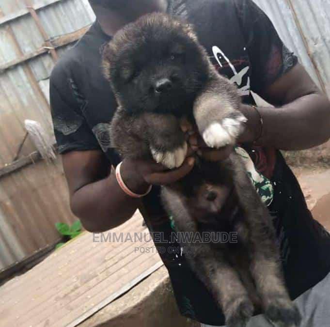 1-3 Month Female Purebred Caucasian Shepherd   Dogs & Puppies for sale in Enugu, Enugu State, Nigeria