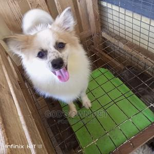 6-12 Month Male Mixed Breed Pomeranian   Dogs & Puppies for sale in Lagos State, Surulere
