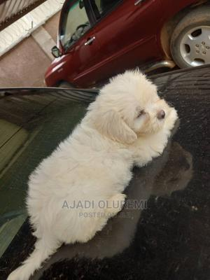 3-6 Month Female Purebred Lhasa Apso | Dogs & Puppies for sale in Abuja (FCT) State, Gwarinpa