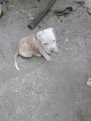 1-3 Month Male Purebred American Pit Bull Terrier   Dogs & Puppies for sale in Lagos State, Ojo
