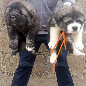 1-3 Month Female Purebred Caucasian Shepherd   Dogs & Puppies for sale in Rivers State, Port-Harcourt