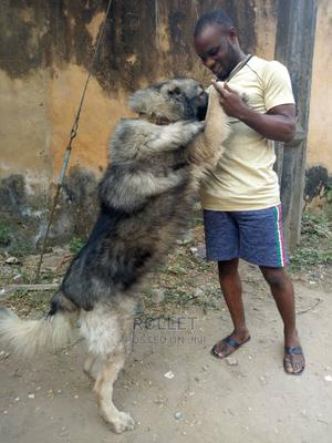 1+ Year Male Purebred Caucasian Shepherd | Dogs & Puppies for sale in Lagos State, Ikotun/Igando