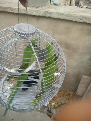 Pet Parrot for Sale | Birds for sale in Lagos State, Ajah