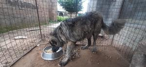 3-6 Month Male Purebred Caucasian Shepherd   Dogs & Puppies for sale in Kwara State, Ilorin South