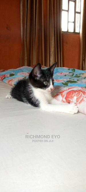 0-1 Month Female Purebred American Shorthair | Cats & Kittens for sale in Lagos State, Isolo