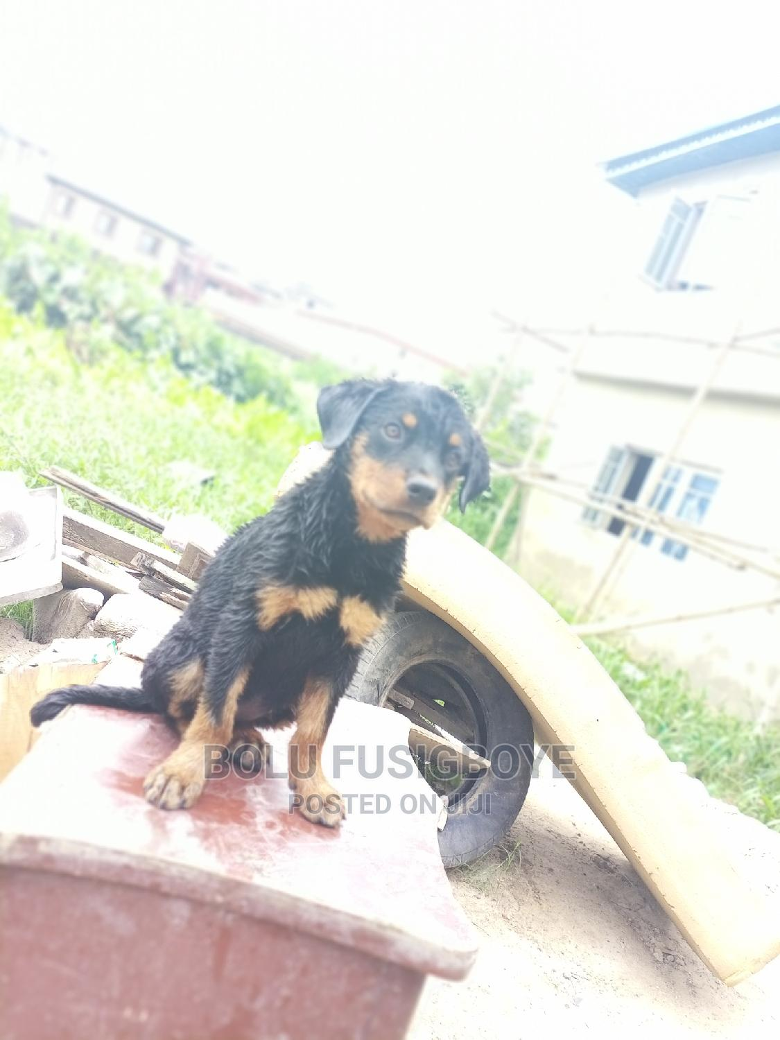 1-3 Month Male Purebred Rottweiler   Dogs & Puppies for sale in Ikorodu, Lagos State, Nigeria