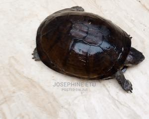 Land Tortoise | Reptiles for sale in Abuja (FCT) State, Kubwa