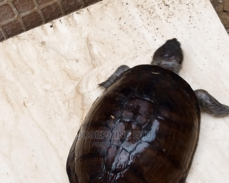 Archive: Land Tortoise