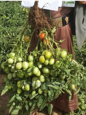 F1 Hybrid Tomatoes With Highly Yields | Feeds, Supplements & Seeds for sale in Lagos State, Ifako-Ijaiye