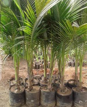 Improved Agric Yellow and Green Dwarf Coconut Seedlings | Feeds, Supplements & Seeds for sale in Edo State, Benin City