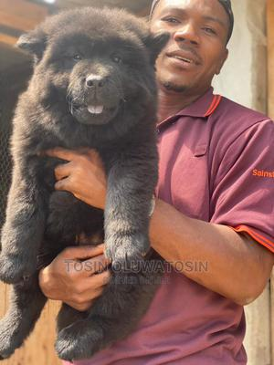 3-6 Month Male Purebred Chow Chow | Dogs & Puppies for sale in Lagos State, Ikoyi