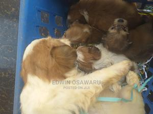 0-1 Month Male Purebred Lhasa Apso | Dogs & Puppies for sale in Edo State, Benin City