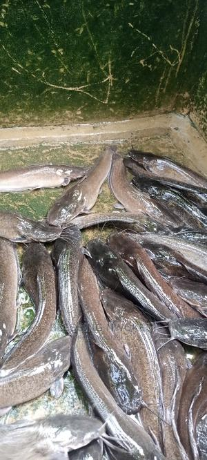 Fresh Cat Fish Big and Small | Livestock & Poultry for sale in Rivers State, Port-Harcourt