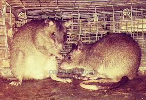 Pouched Rats/ Giant Rats (Ewii/Okete/Magawa Rat) | Other Animals for sale in Lagos State, Ibeju