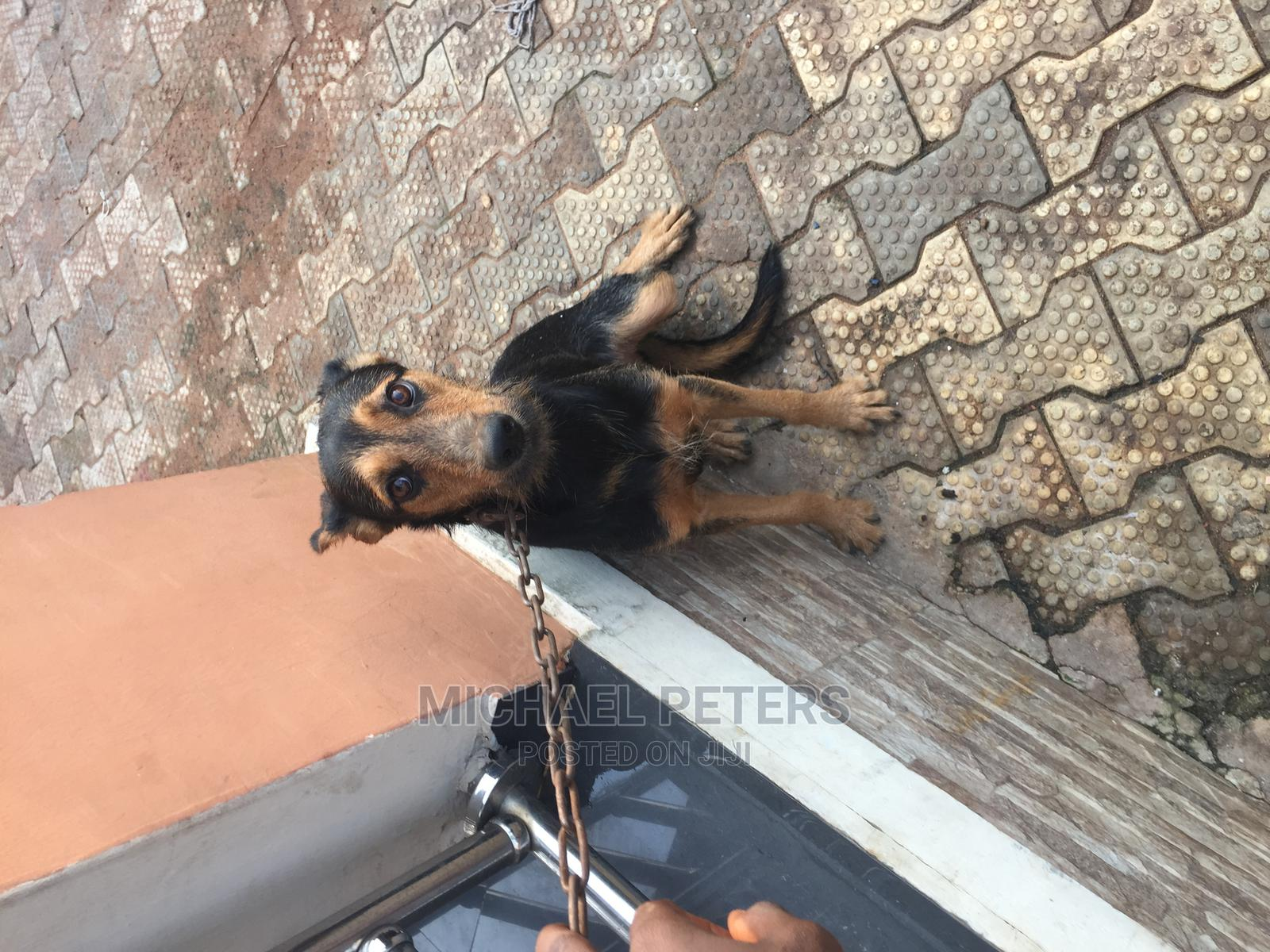 6-12 Month Male Mixed Breed Rottweiler   Dogs & Puppies for sale in Benin City, Edo State, Nigeria