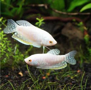 Aquarium Fish | Fish for sale in Lagos State, Agbara-Igbesan
