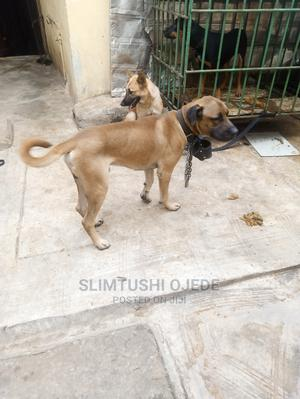 1+ Year Male Purebred Boerboel | Dogs & Puppies for sale in Delta State, Oshimili South