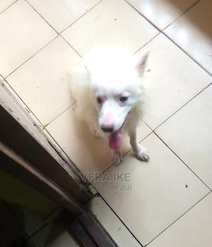 1+ Year Male Purebred American Eskimo | Dogs & Puppies for sale in Lagos State, Amuwo-Odofin