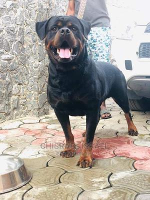 0-1 Month Female Purebred Rottweiler   Dogs & Puppies for sale in Lagos State, Amuwo-Odofin